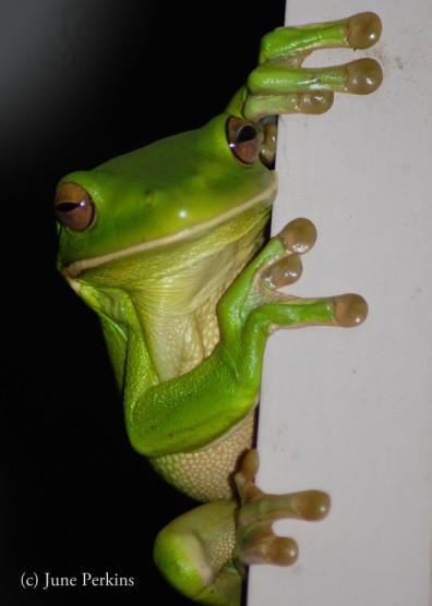 treefrog
